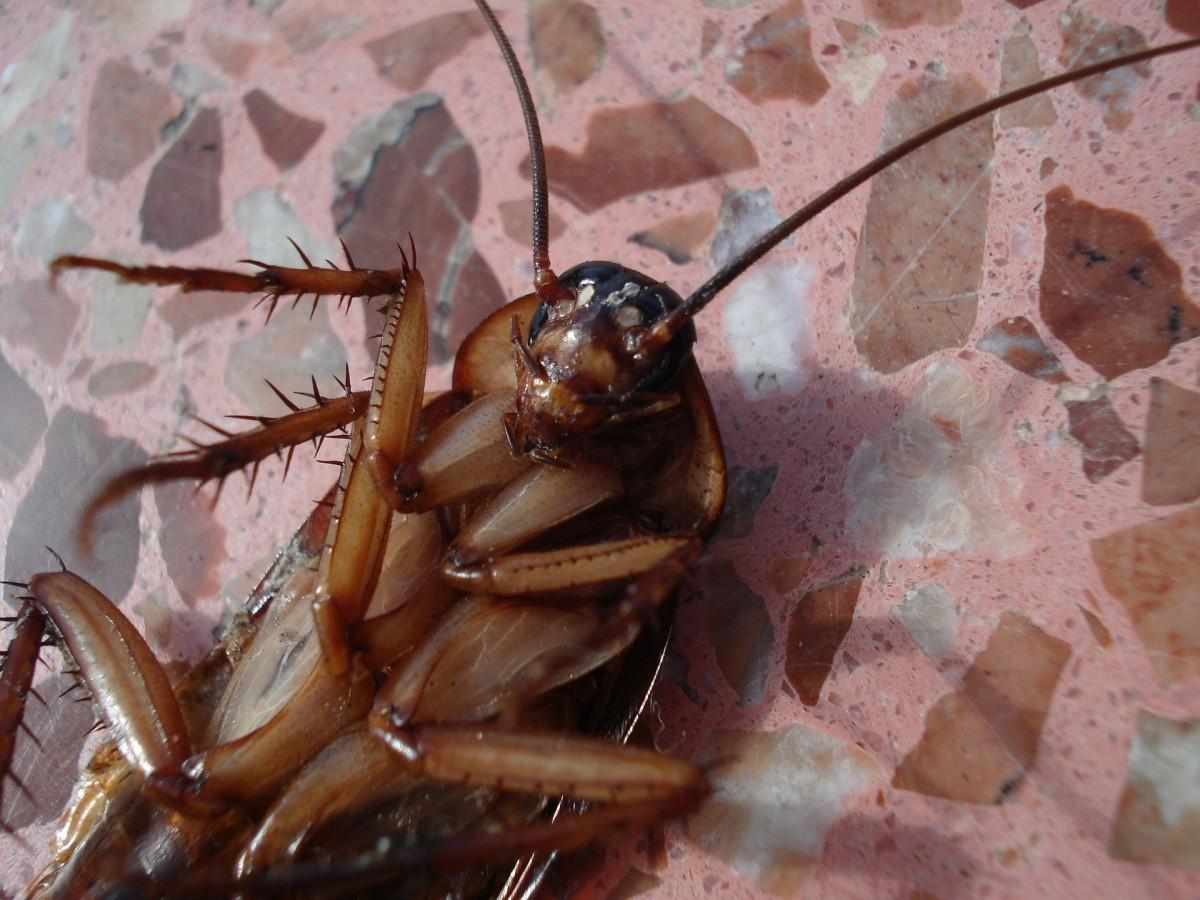 4 страхотни домашни средства за борба с хлебарки